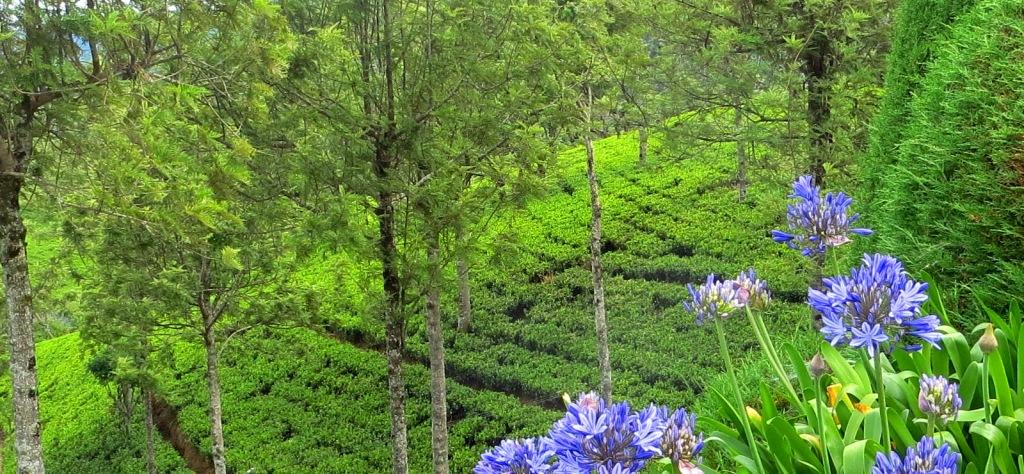 Teeplantage-sri-lanka-nuwara-eliya