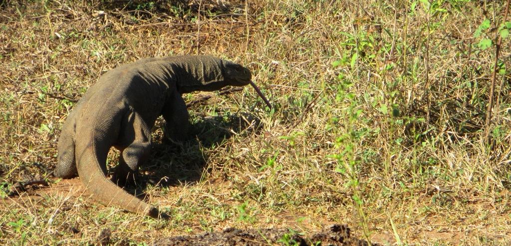 waran-sri-lanka-safari-udawalawe (2)