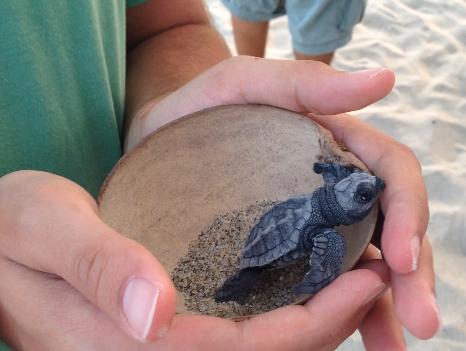 Die Nomaden des Pazifik – Meeresschildkröten in Puerto Escondido